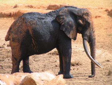 Trochę się ubrudził :) - Tsavo National Park - Kenia - 251