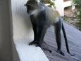 Małpki na balkonie pokoju hotelowego - Mombasa - Kenia