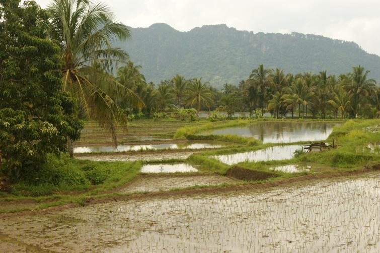 Pola ryżowe - Sumatra - Indonezja
