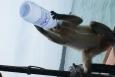 małpa, Phi Phi, Śladami Marzeń, spragniona małpa, tajlandia - Spagniona małpa - Wyspa Phi  Phi - Tajlandia