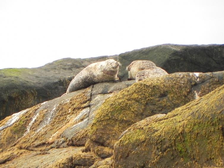 Foczki na wyspie Anda - wycieczka objazdowa - Norwegia