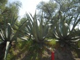 rośliny, Teotihuacan - pustynna roślinność  - Ciudad Mexico - Meksyk
