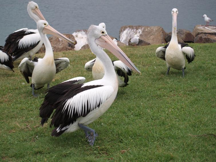 Pelikan - New South Wales - Australia