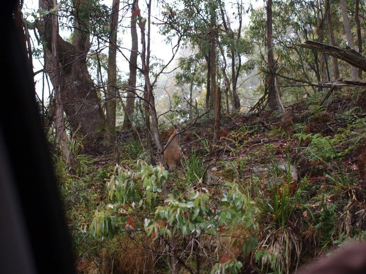 kangur - New South Wales - Australia