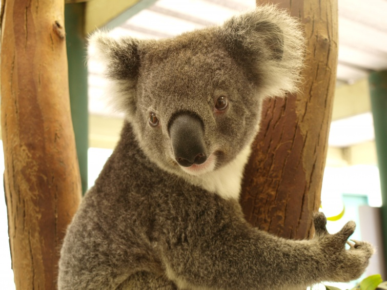 Koala - New South Wales - Australia